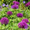 allium_purple_sensation2_de_1211