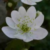 anemonella_thalictroides_040