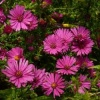 aster_beechwood_rival_046