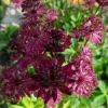 astrantia_ruby_wedding_p1020250