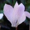 cyclamen_intaminatum_037