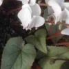 cyclamen_white_cloudimg_2210