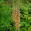 digitalis_ferruginea_060