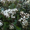 eupatorium_chocolate_037