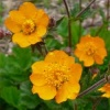 geum_coppertone_065