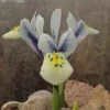 iris_reticulata_eyes_catcher_cg