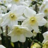 narcissus_green_eyed_lady_de
