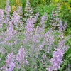 nepeta_six_hills_giant_101