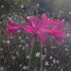 nerine_early_red_img_2299