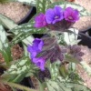 pulmonaria_juliette_m__cg